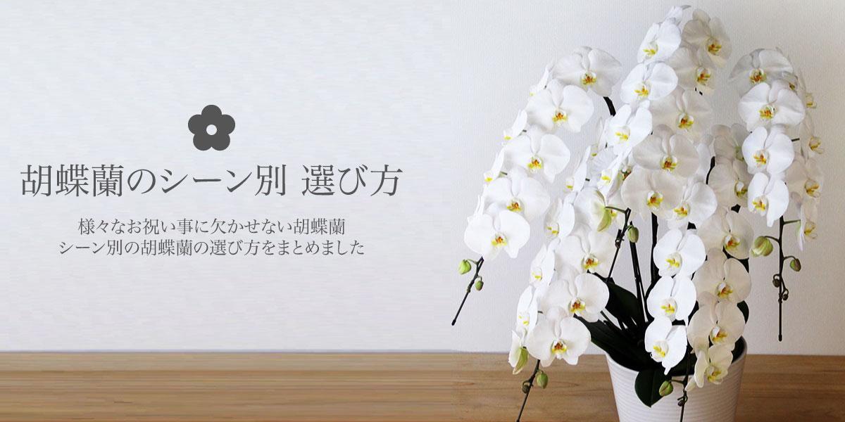 胡蝶蘭のシーン別 選び方