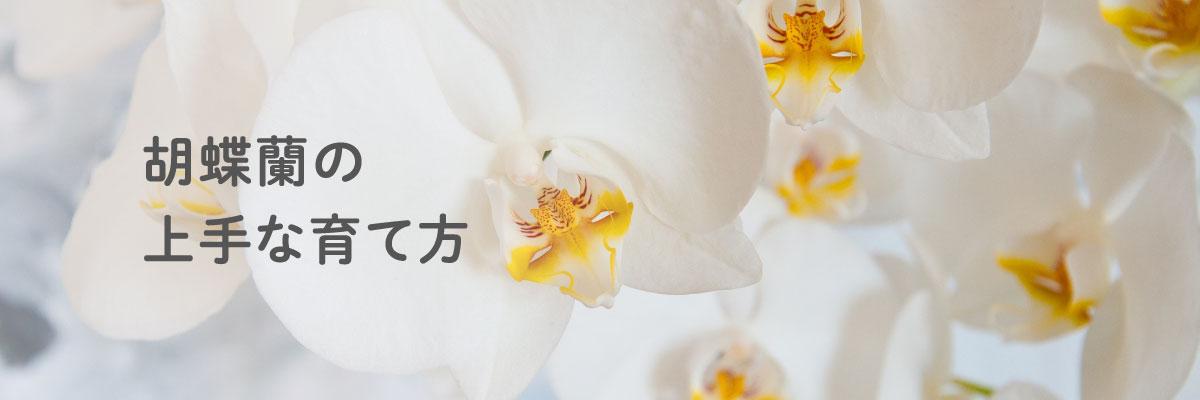 胡蝶蘭の上手な育て方