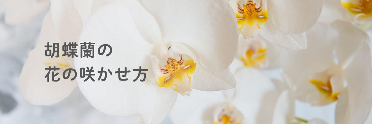 胡蝶蘭の花の育て方