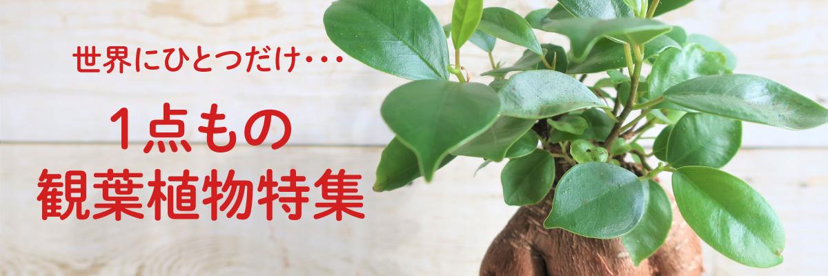 一点物観葉植物特集