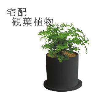 【デリバリー】観葉植物