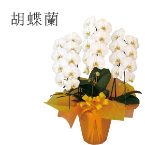 【ギフト】胡蝶蘭