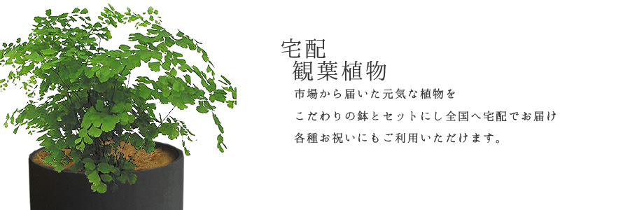 【デリバリー】宅配観葉植物のカテゴリー