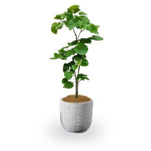 観葉植物(L)23区限定